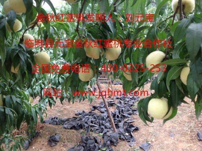 桃树流胶防治措施